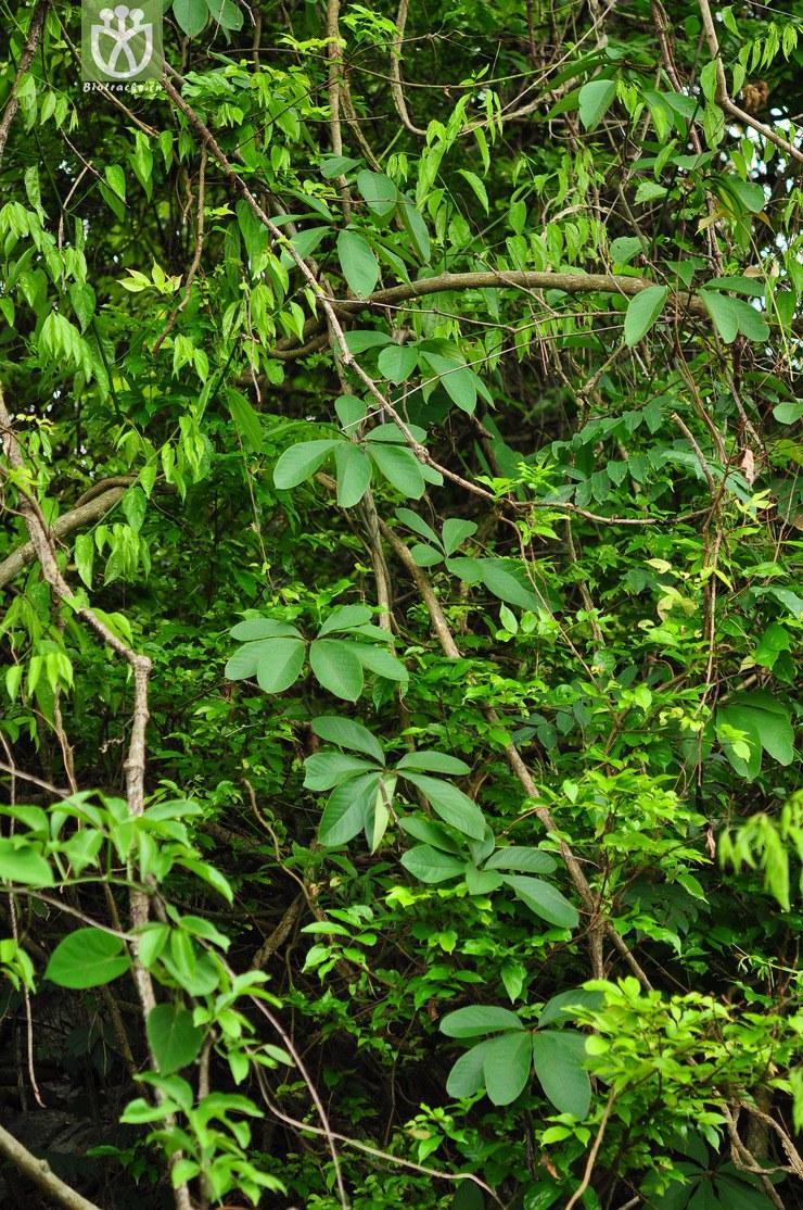 五叶薯蓣(dioscorea pentaphylla) (1).jpg图片
