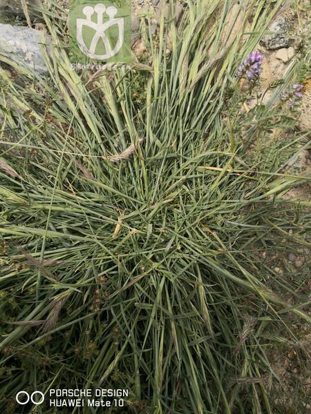 Anemone ambigua