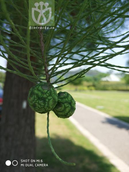 Taxodium ascendens