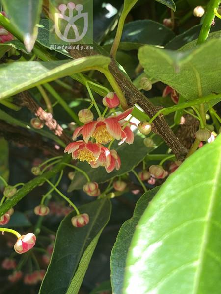 Pollia siamensis