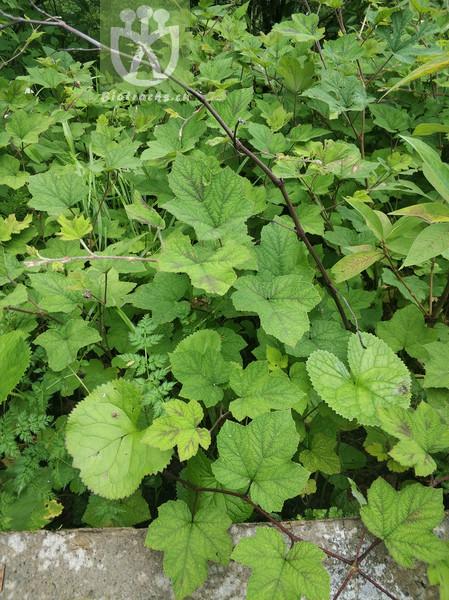 Rubus sp.