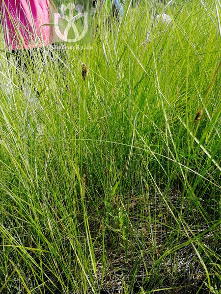 Carex filiformis var. latifolia