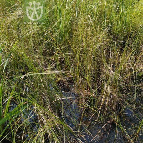 Carex filiformis var. australis