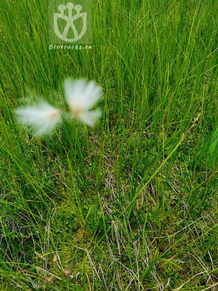 Eriophorum gracile subsp. hoefftii