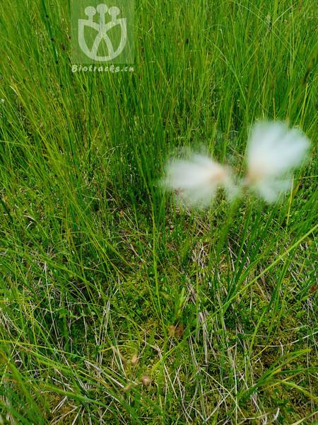 Eriophorum triquetrum