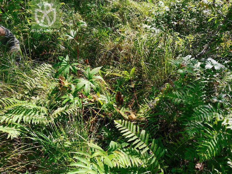 Filipendula palmata var. palmata