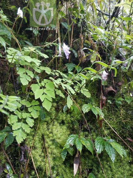 Pollia thyrsiflora