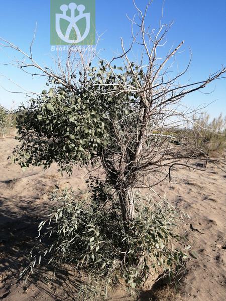 Balsamiflua euphratica