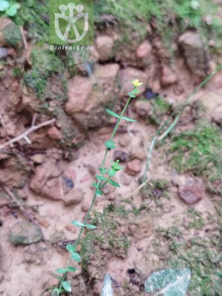 Hypericum chinense