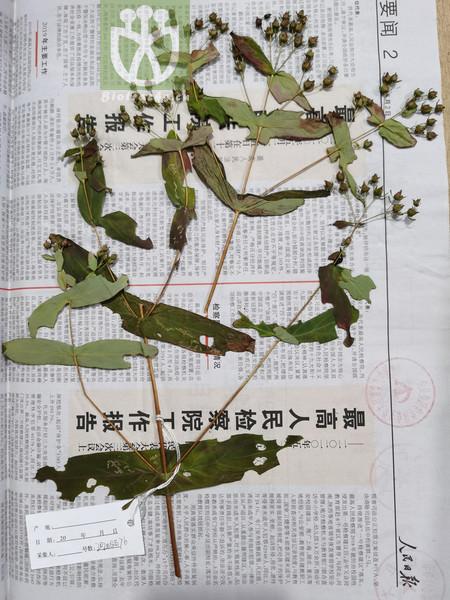 Hypericum sampsonii