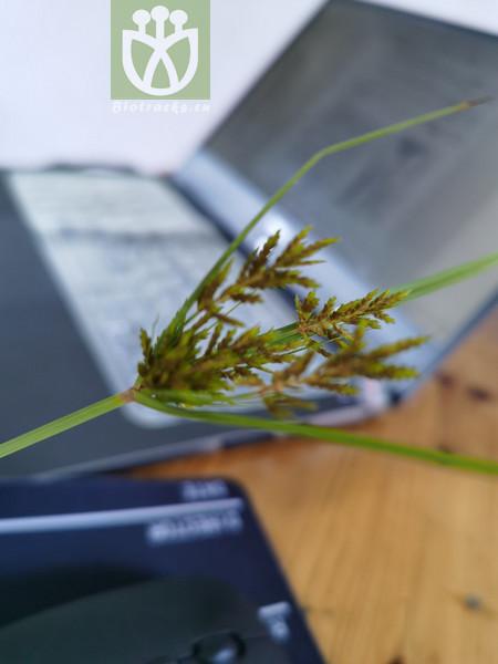 Cyperus microiria