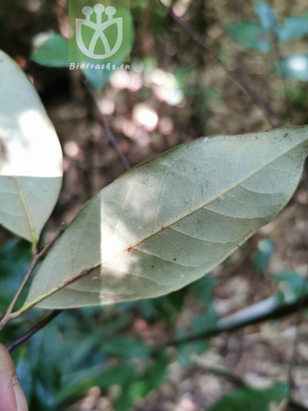 Lithocarpus synbalanos