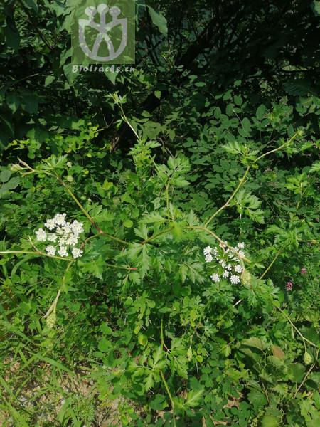 Peucedanum terebinthaceum
