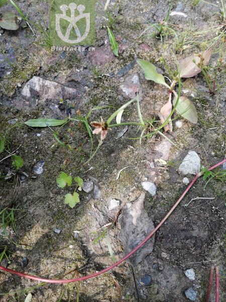 Pycreus sanguinolentus