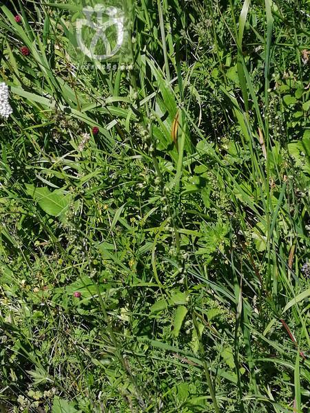 Artemisia tanacetifolia