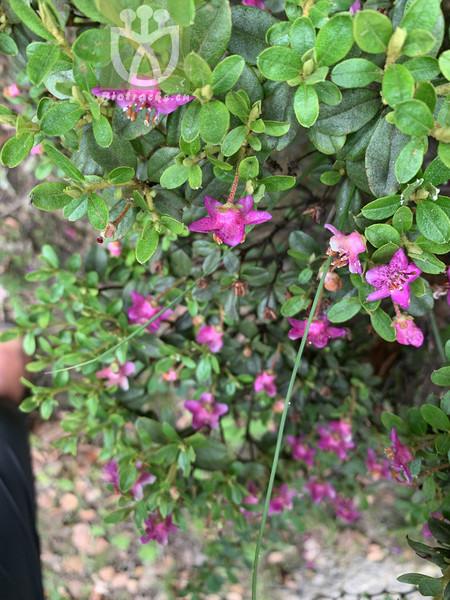 Halerpestes tricuspis var. variifolia