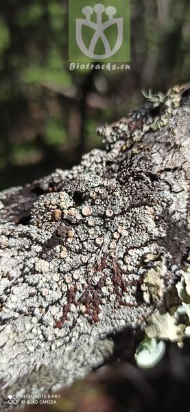 Pistacia formosana