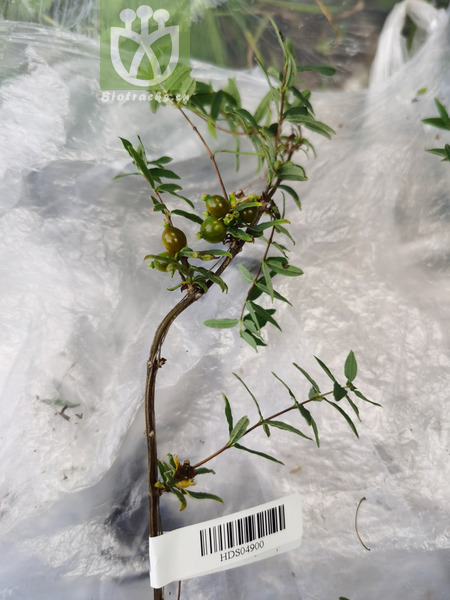 Caprifolium rupicolum