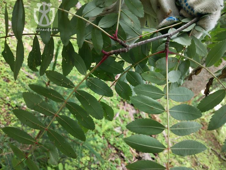 Aquilegia viridiflora var. atropurpurea
