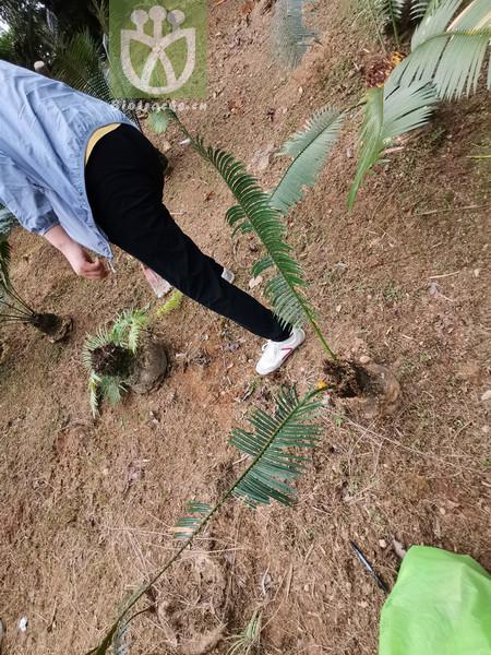 Lonicera webbiana var. mupinensis