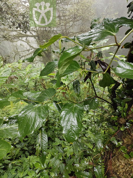Piper nudibaccatum