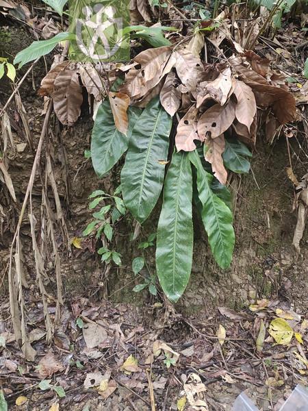 Piper chaudocanum