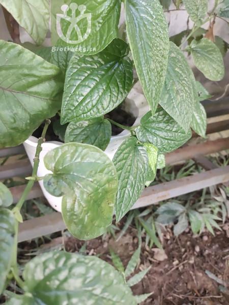 Zippelia begoniifolia