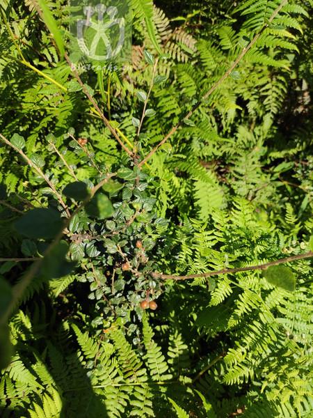 Salix taraikensis var. latifolia