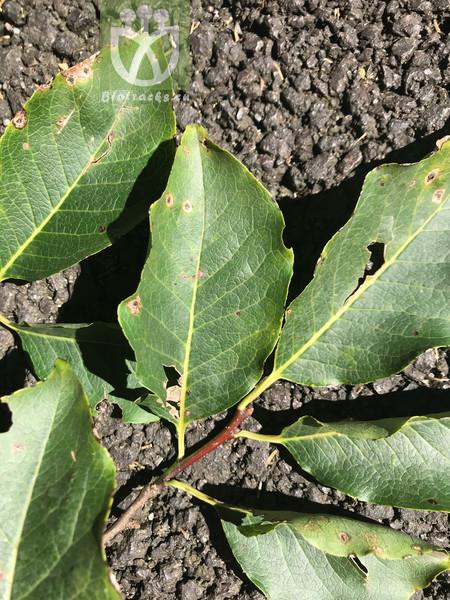Keteleeria pubescens
