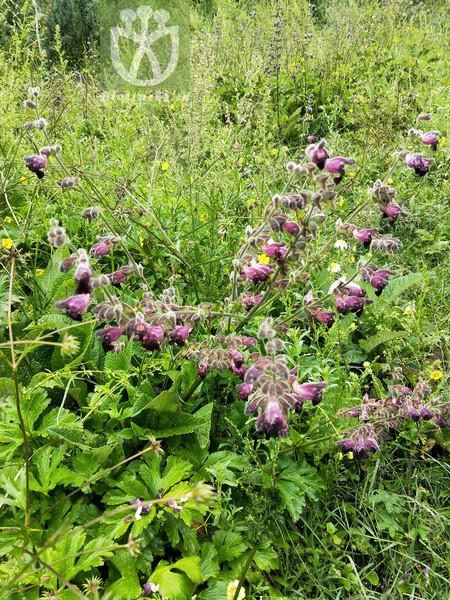 Salvia przewalskii