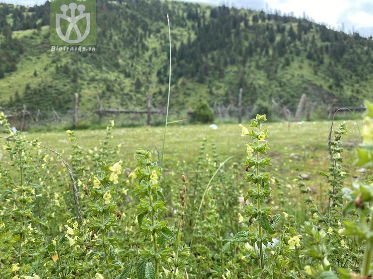 Salvia roborowskii