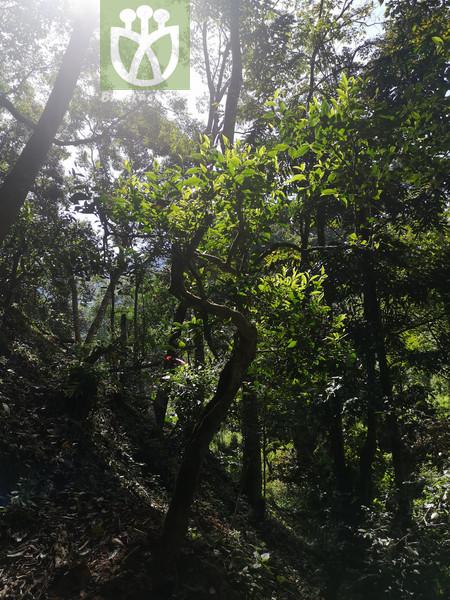 Quercus franchetiana