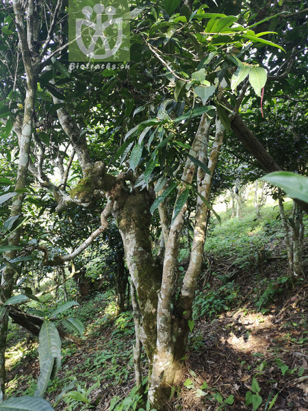 Acacia conferta