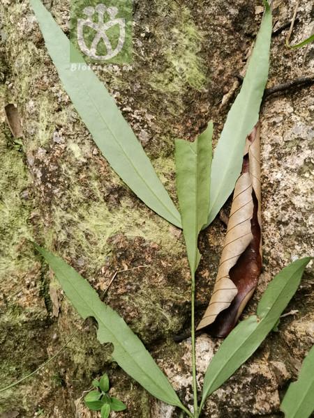 Euonymus euscaphis