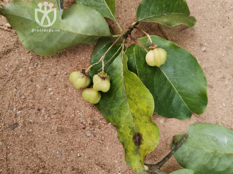 Euonymus hamiltonianus