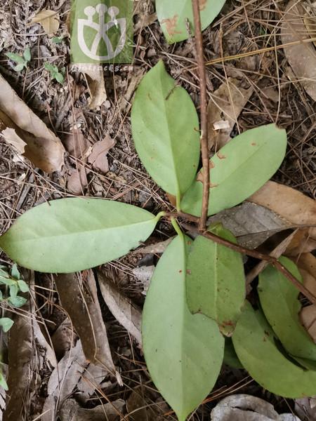 Kadsura coccinea var. coccinea