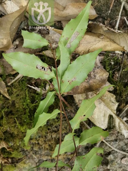 Prunus balfourii