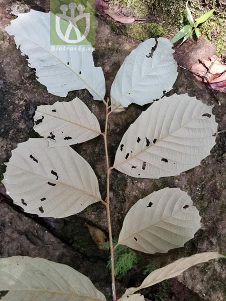 Castanopsis jucunda