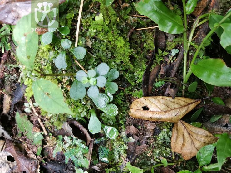 Helleborus altifolius