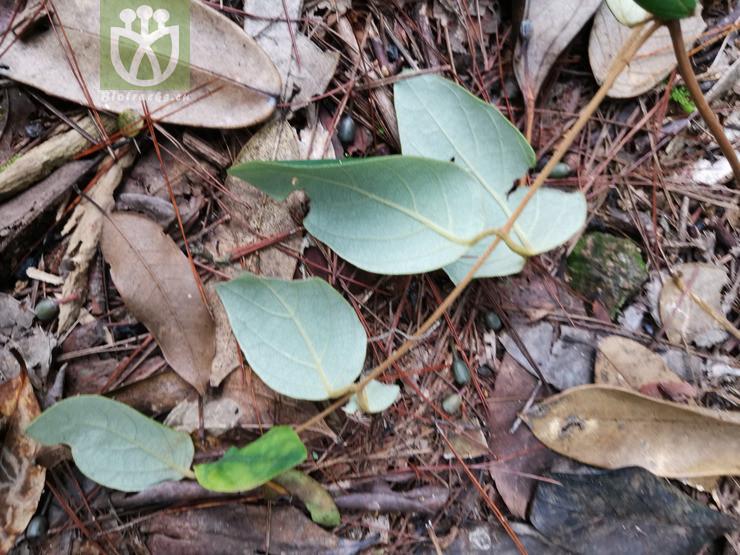 Lonicera reticulata