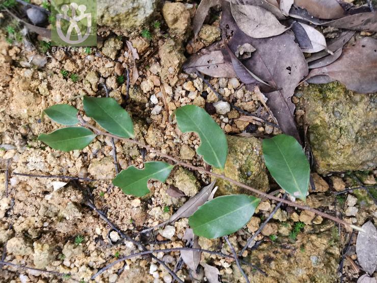 Castanopsis cuspidata var. longicaudata