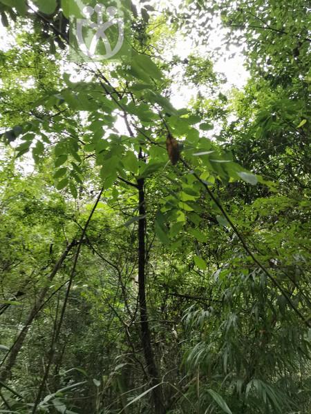 Phyllanthus flexuosus