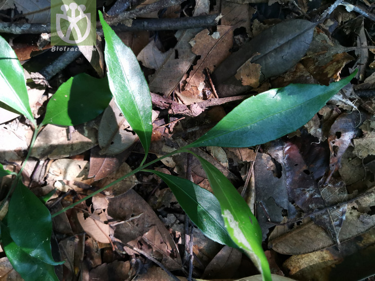Euonymus laxiflorus