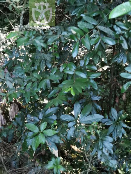 Machilus leptophylla