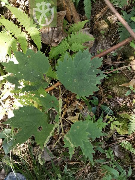 Boehmeria tricuspis