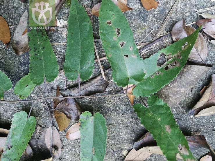 Broussonetia kaempferi var. australis