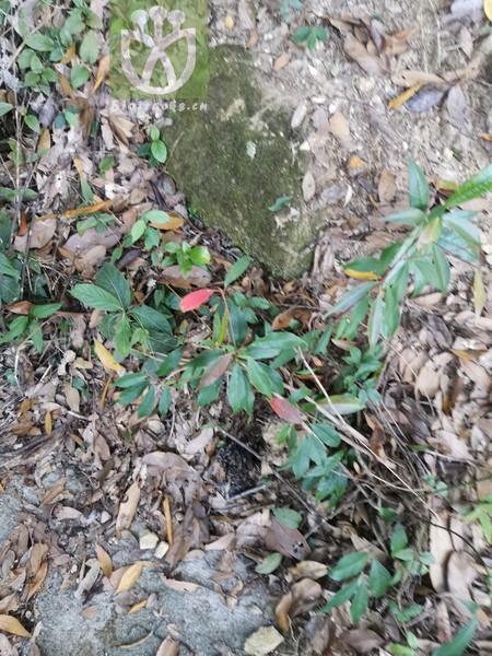 Elaeocarpus decandrus