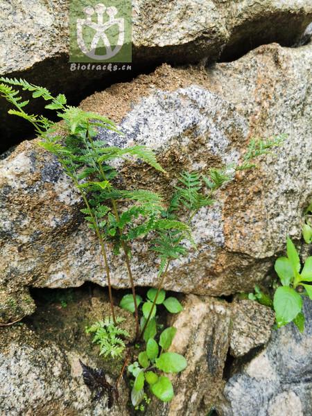 Cystopteris viridula