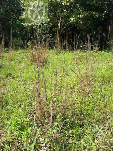 Myricaria laxiflora