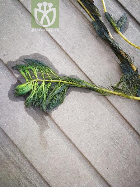 Myriophyllum spicatum var. spicatum